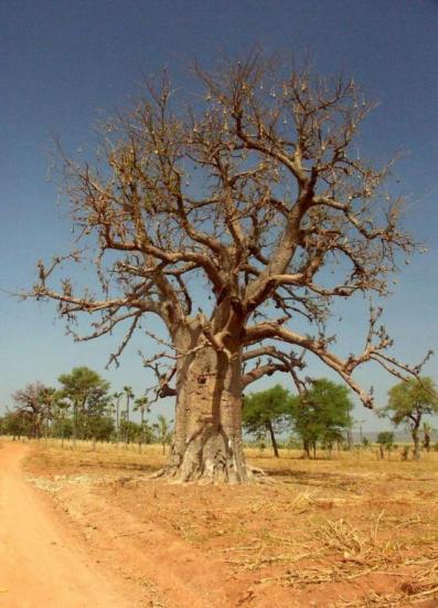 Baobab - Le symbole de l'Afrique