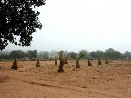 Les arbres plantés par Mimi et Loulou dans la cour de l'école de Namou