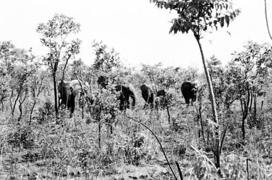 """Pierre - Elephants lors d'une """"vision"""""""