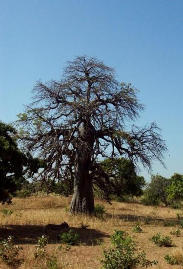 Baobab - Toujours aussi majestueux